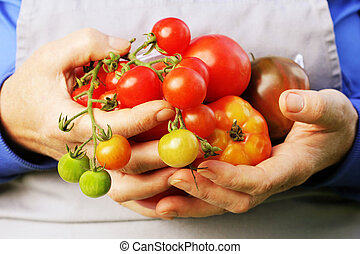 Fresh Organic red ,yellow, orange and green tomato . Colorful organic tomatoes in farmers hands