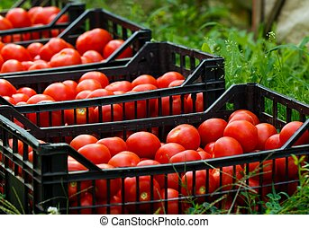 Fresh Organic Tomatoes - Fresh healthy tomatoes being ...