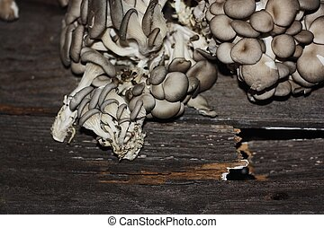 Fresh oyster mushrooms on wooden background macro