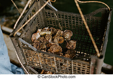 Fresh oysters caught in farm box