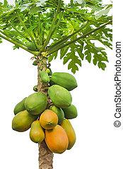 fresh papaya tree isolated on white background - fresh...