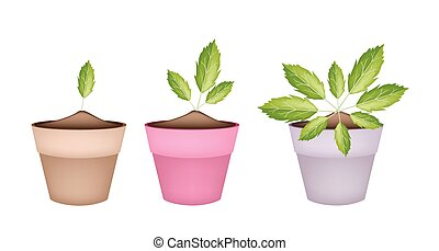Fresh Paracress Plants in Ceramic Flower Pots
