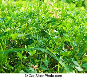 Fresh parsley in the garden