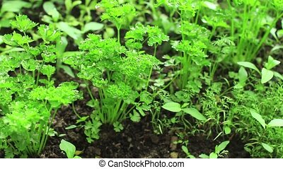 Fresh Parsley leaves and dill in garden - Fresh parsley...