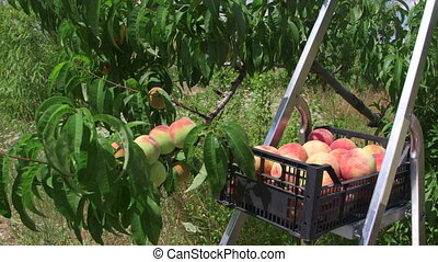 Fresh peaches crop during harvest in the orchard