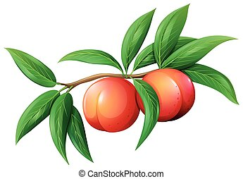 Fresh peaches on the branch