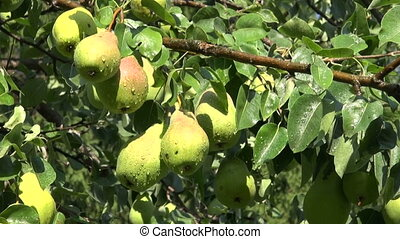 fresh pears fruits on tree in summer farm garden