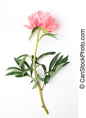 fresh peony on a white background in the center of the frame. flat lay, top view