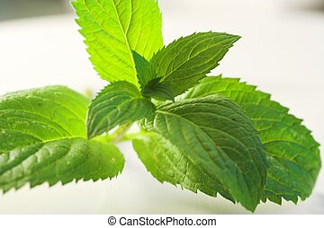 fresh peppermint leaves for tea and alternative medicine