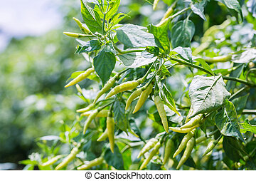 Fresh peppers in the garden