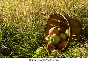Fresh picked apples 1
