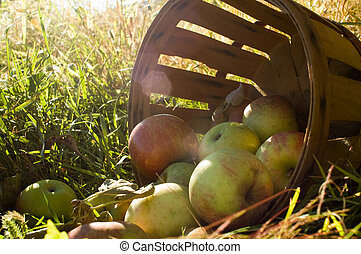 Fresh picked apples 2