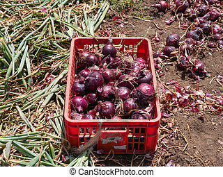 Fresh picked Red Onions in a field.
