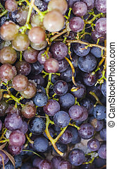 fresh picked ripe concord grapes background