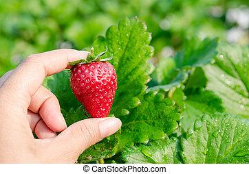 Fresh picked strawberries. - Fresh picked strawberries held...