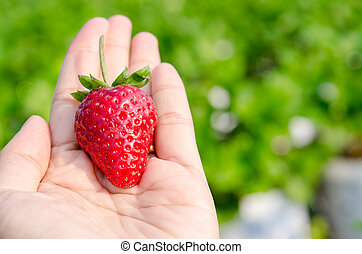 Fresh picked strawberries. - Fresh picked strawberries held...