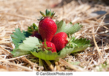 Fresh picked strawberries on the strawberry field