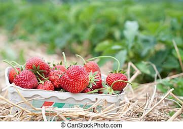 Fresh picked strawberries on a strawberry plantation