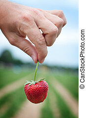 Fresh picked strawberry held over strawberry plants