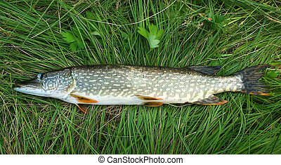 Fresh pike on the grass