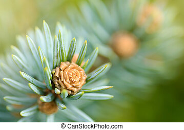 Fresh pine tree sprout
