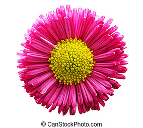 Fresh pink daisy flower isolated on white.