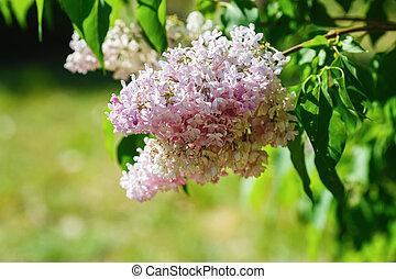 Fresh pink lilac