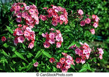 Fresh pink phlox