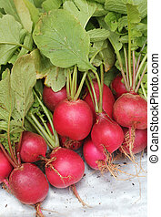 Fresh pink-red colored round radish heap collected from a...