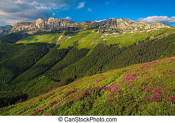 Fresh pink rhododendron flowers in the mountains, Bucegi, Carpathians, Romania