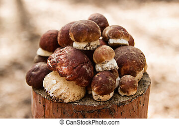 Fresh porcini mushrooms on a stump in a summer forest.