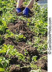 Fresh potato harvest