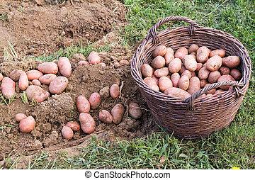 Fresh potato - Excavated potato from the soil