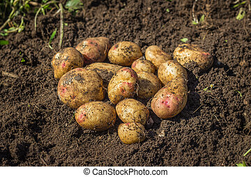 Fresh potatoes on the ground - Fresh organic potatoes on the...