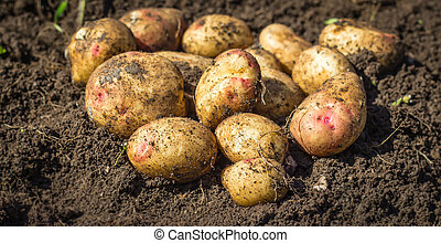 Fresh potatoes on the ground