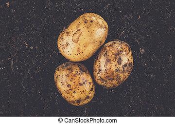 fresh potatoes on the soil background - fresh raw potatoes...