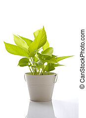 fresh pothos of houseplant