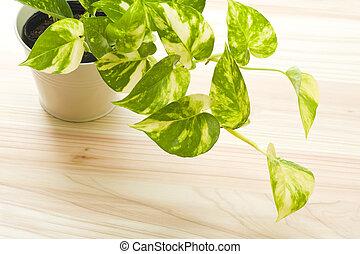 fresh pothos of houseplant on wooden floor