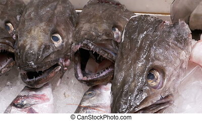Fresh Predatory Fish with an Open Mouth Lies in the Ice on the counter of a fish store