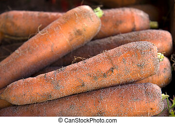 Fresh pulled carrots