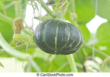 pumpkin or Cucurbita moschata Decne in the vegetable garden