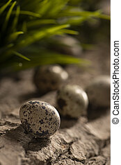 Fresh quail eggs on a wooden surface in the woods with green blurred natural leaves background