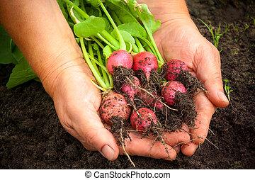Fresh radish in farmer hands. Selective focus