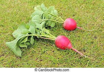 Fresh radish on the grass in garden