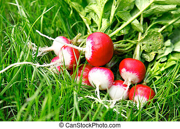 fresh radish on the green grass