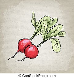 Fresh radishes. Vector illustration.
