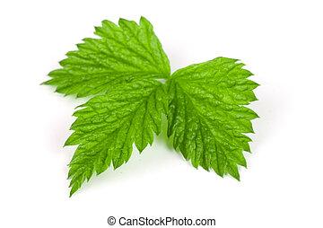 Fresh raspberry leaf isolated on white background