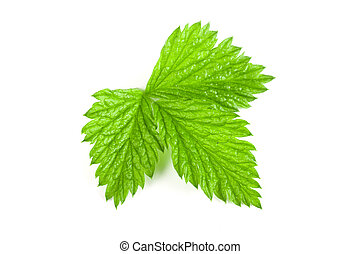 Fresh raspberry leaf isolated on white background
