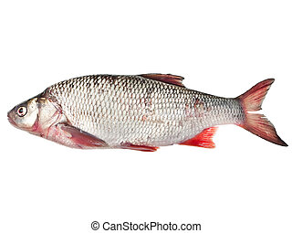 Fresh raw fish - The fish roach is isolated on a white ...