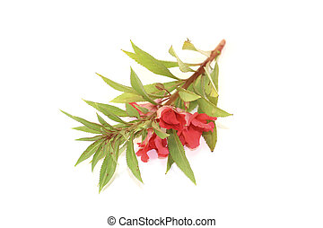 fresh red Balsam on a light background